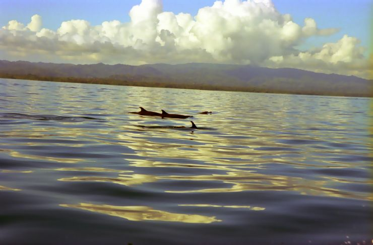 Dolphin Pods in the Gulfo Dulce