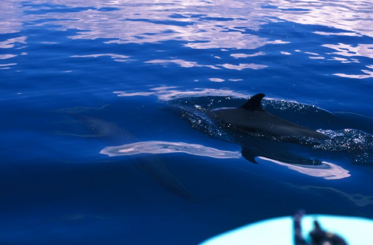 Dolphin off of Puerto Jimenez close to Carate