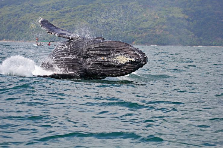 Humpback Whale breaching near Uvita