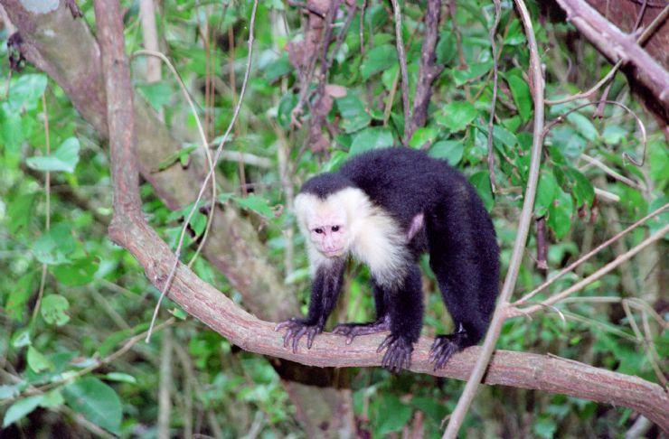 White Faced (Capuchin) Monkey