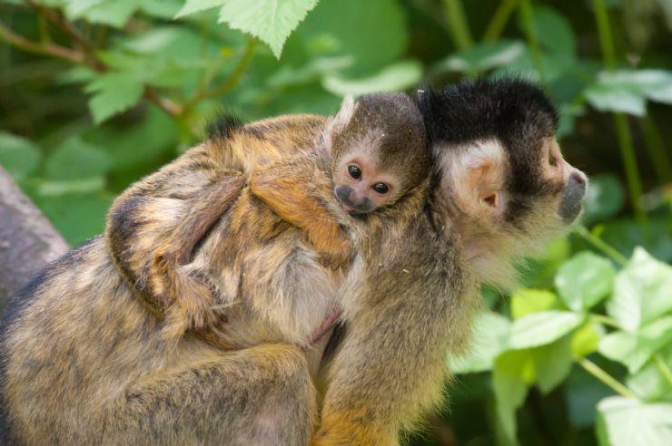 Baby & Mom Squirrel Monkeys spotted at Rincon de la Vieja