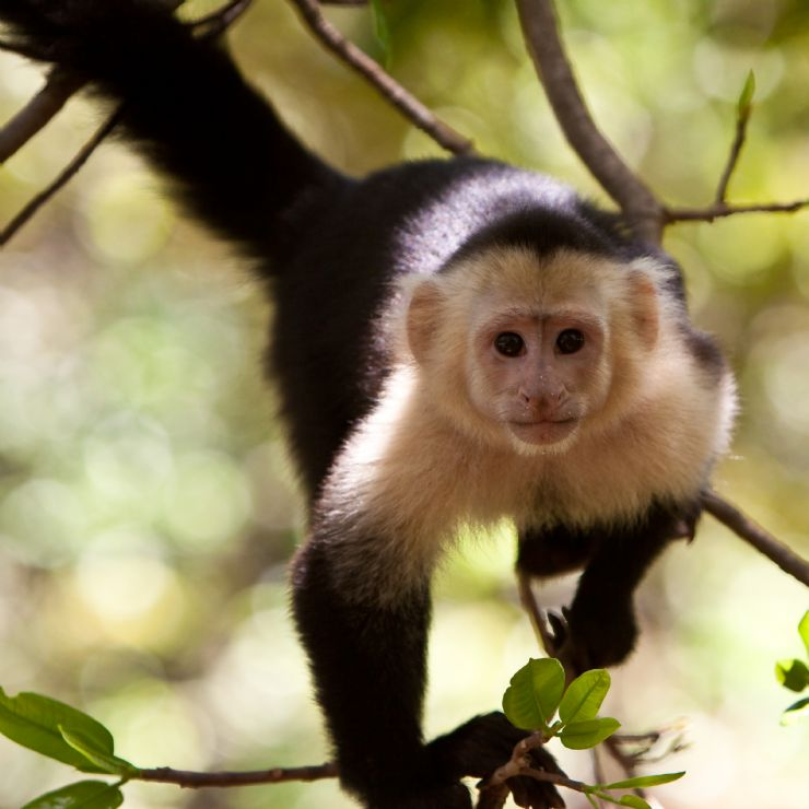 Panamanian White-Faced Capuchin Monkey in tree