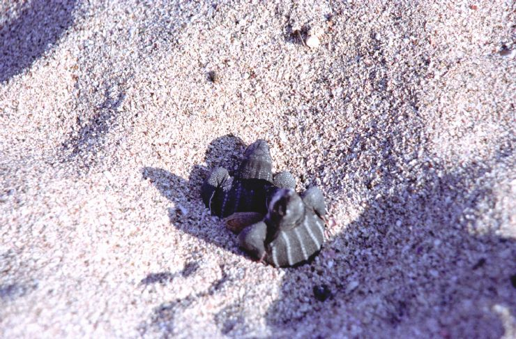 Baby Leatherback Turtle Hatching