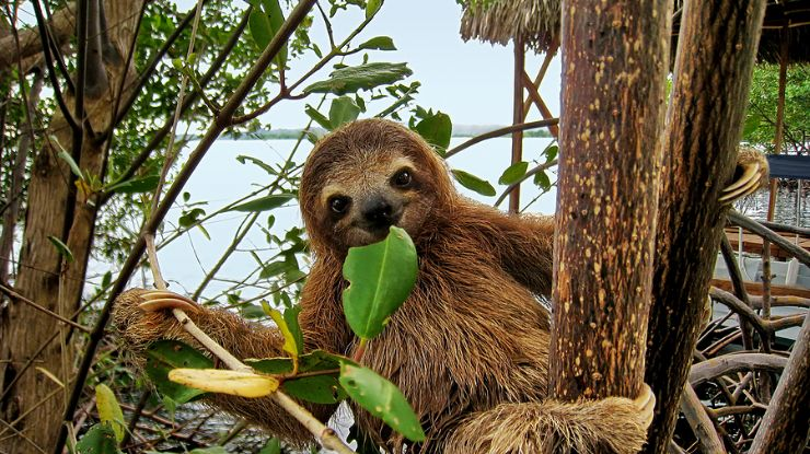 Baby sloth eating mangrove leaf