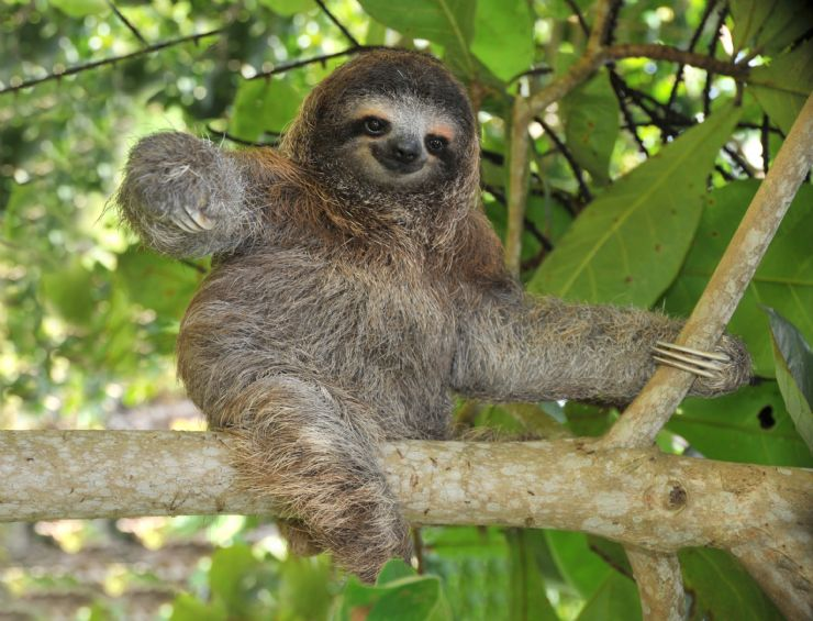 Baby three-toed Sloth sitting in a tree