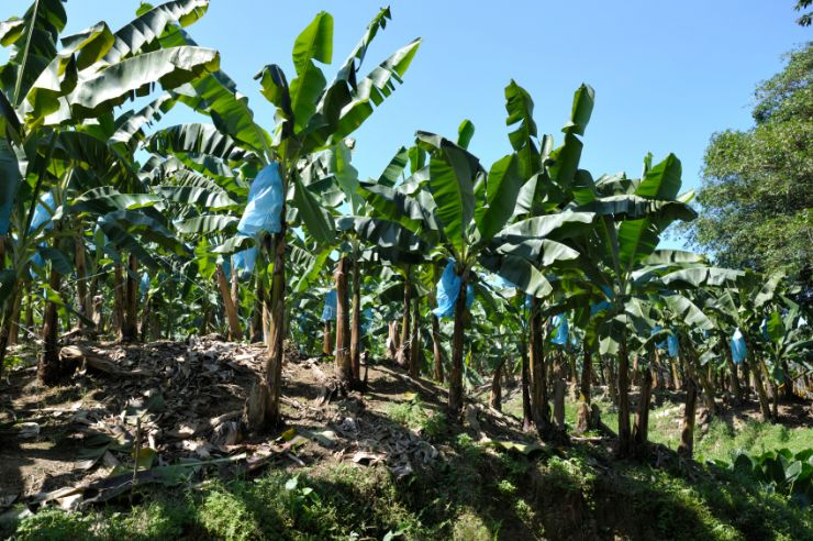 Banana Plantation just outside Limon