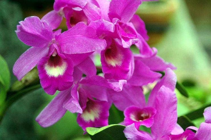 Guaria Morada orchid, Paraiso