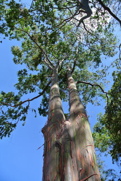 Beautiful tree seen from below in La Sabana