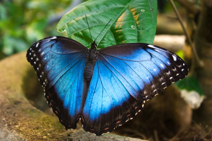 Blue Morpho Butterfly in Monteverde