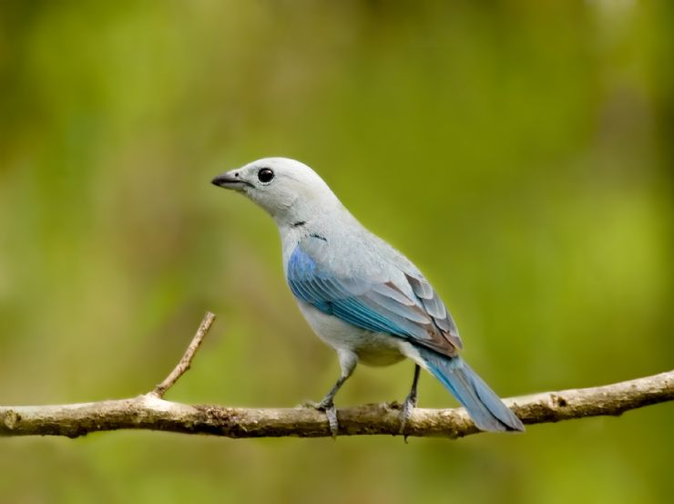 Beautiful Blue Tanager at Poas Volcano Natl. Park, Alajuela