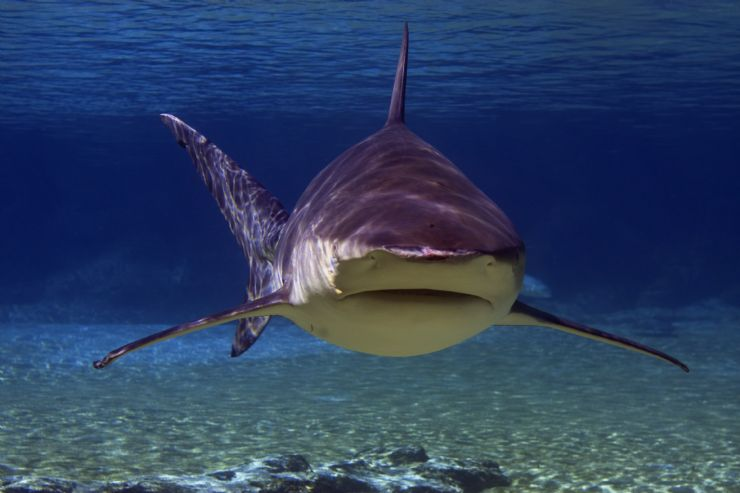 Bull Shark off of the Bat Islands (Isla Murcielago)