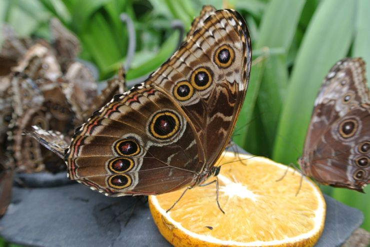 Butterfly feeding from orange in La Paz Waterfall Garden, Heredia