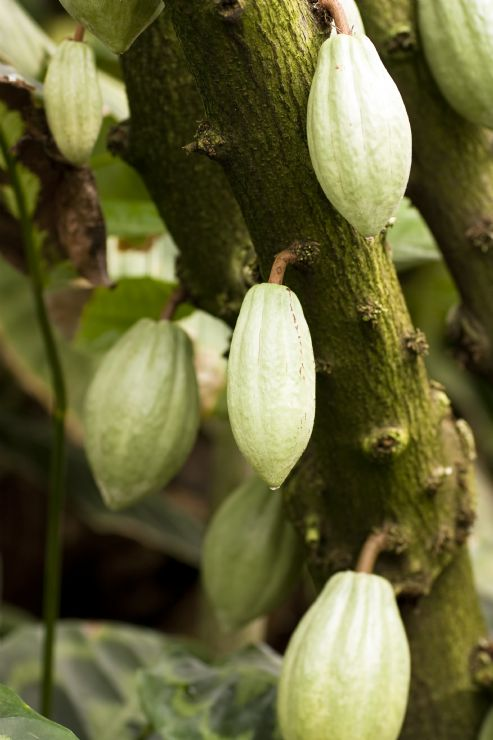 Cacao growing on tree at the Bribri Indigenous Reserve