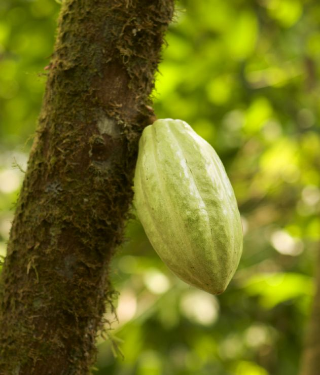 Cacao Pod on Tree can be made into chocolate