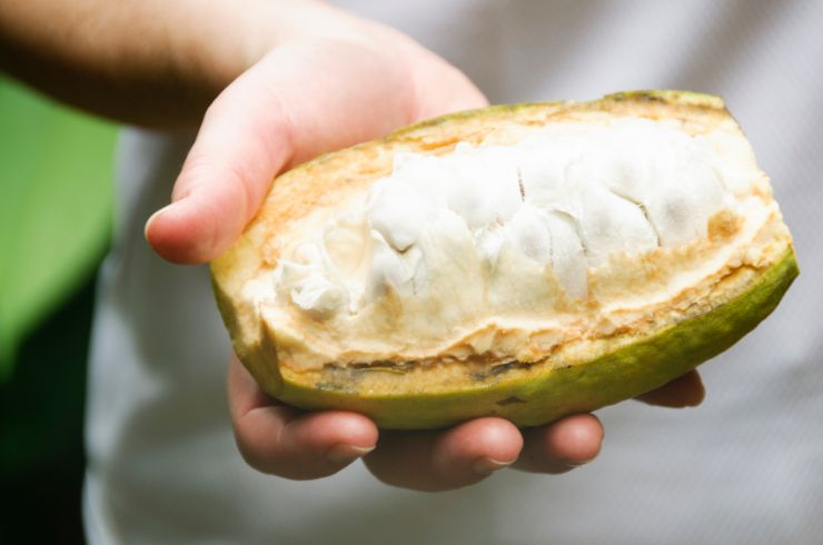 Cacao Pod used for making chocolate