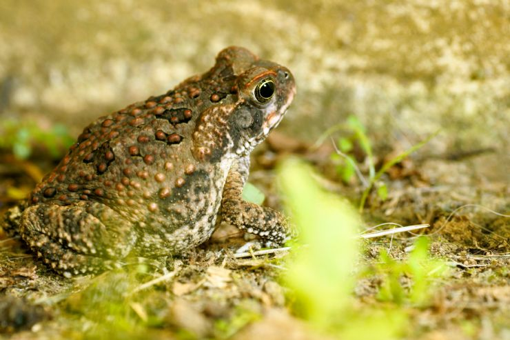 A Cane Toad in tropical forest of La Selva Protected Zone