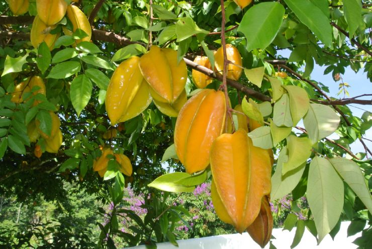 Carambola (Star Fruit) on the tree