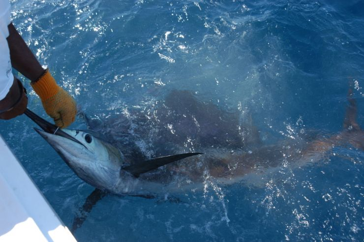 Catch & Release with a Marlin off of Quepos
