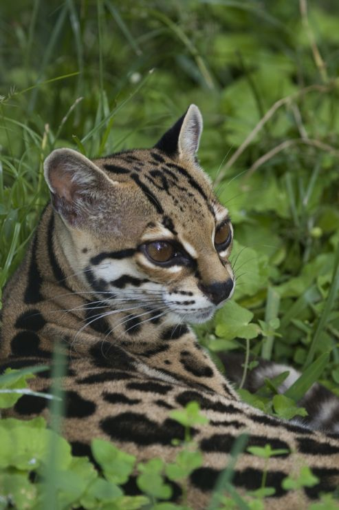 Closeup of a Margay deep in the forest of Monteverde