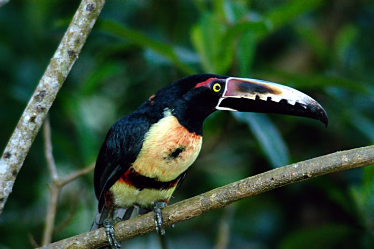 Collared Aracari in Drake Bay Costa Rica