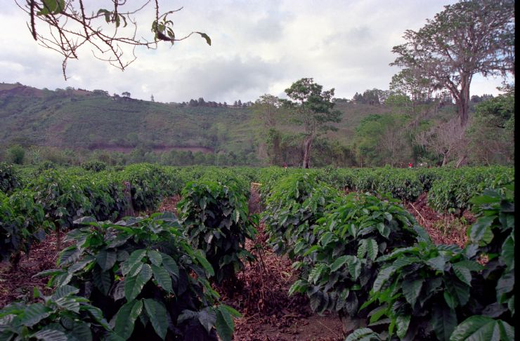 Coffee Plants in Orosi