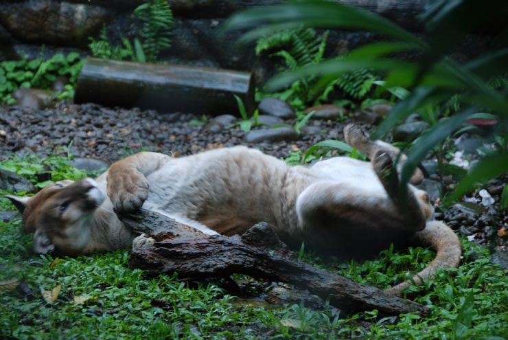 Puma playing with a log
