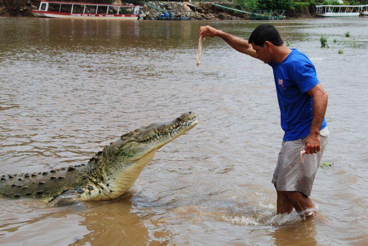 Feeding a large crocodile