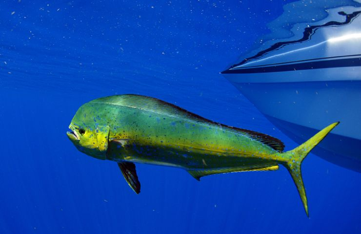 Dorado or Dolphin Fish swimming next to fishing boat