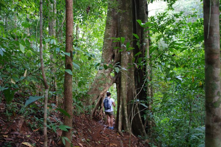 Rainforest hike in Matapalo next to a Strangler Fig Tree