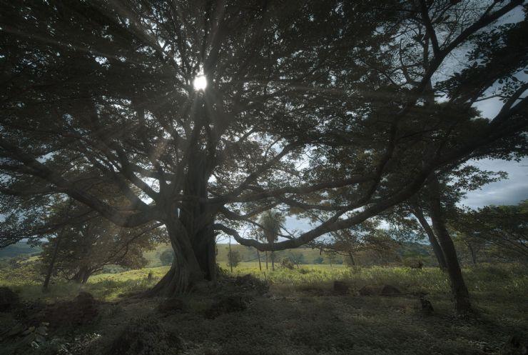 Light Shining through a Guanacaste Tree in Costa Rica