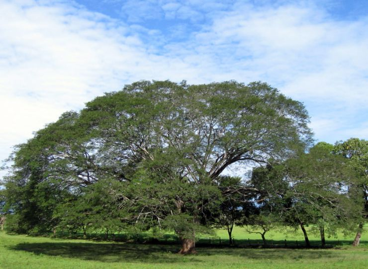 Guanacaste Tree or Elephant Ear Tree - Costa Rica National Tree
