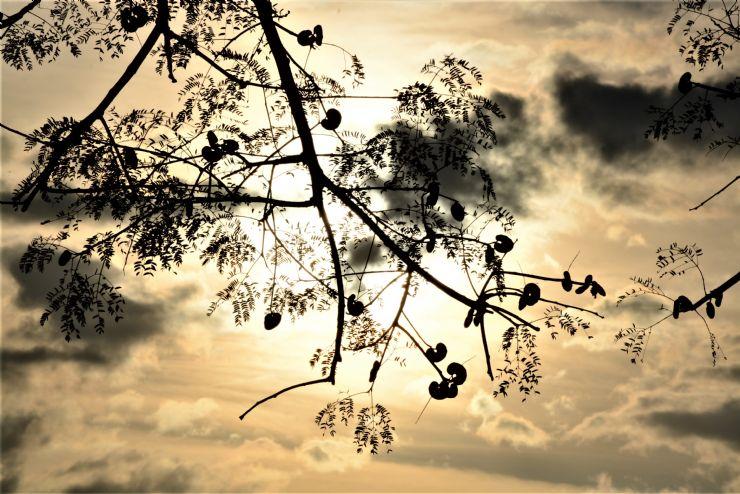 Guanacaste Tree Seed Pods & Sunset in Guanacaste Costa Rica