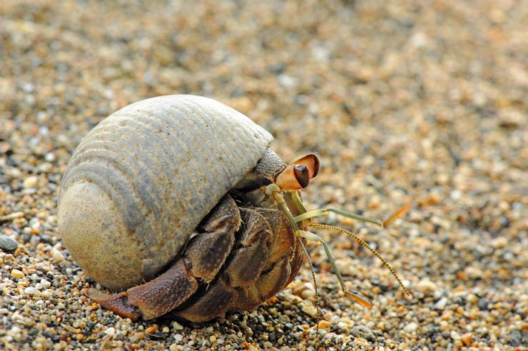 Hermit crab running on beach in Playa Bejuco