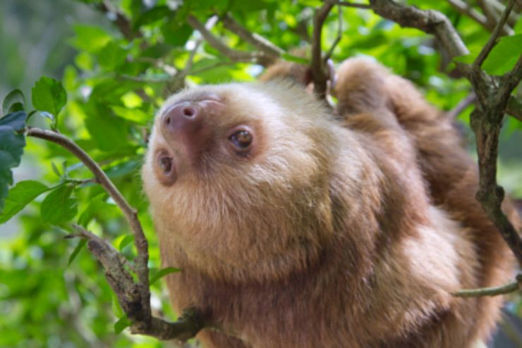 Hoffman two-toed Sloth looking up in the tree