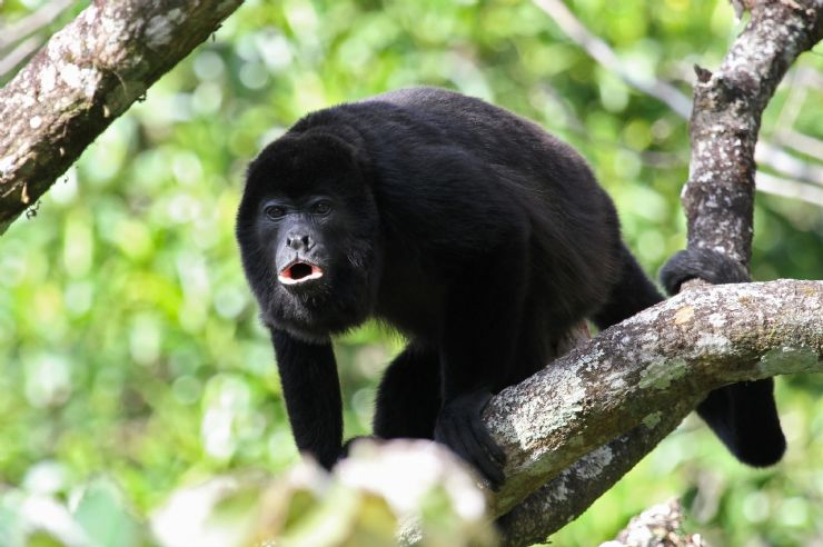 Magnificent Mantled Howler Monkey in Puerto Viejo forest