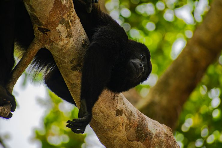 Howler Monkey resting in tree near Tamarindo