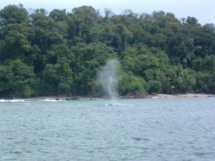 Humpback Whale breathing off the coast of Ballena National Marine Park