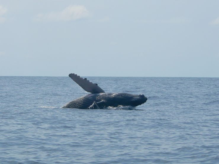 Humpback Whale off the coast of Marino Ballena National Park