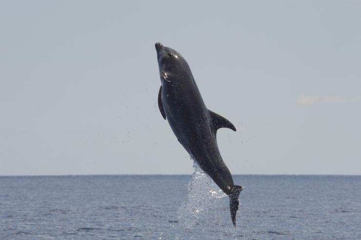 Amazing jumping dolphin in Osa Peninsula