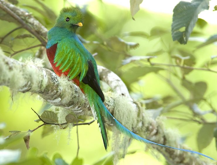 Male Quetzal spotted in Los Quetzales National Park