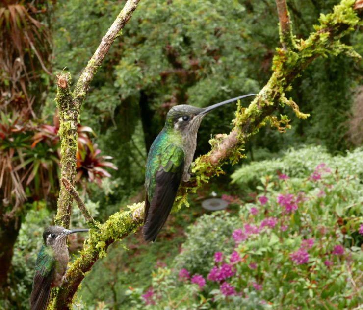 Beautiful Hummingbird at Monteverde Cloud Forest Reserve