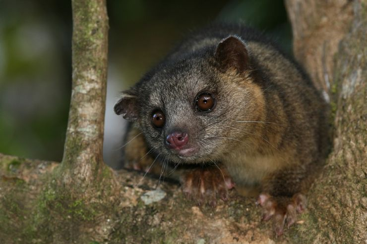 Nocturnal Kinkajou in Monteverde