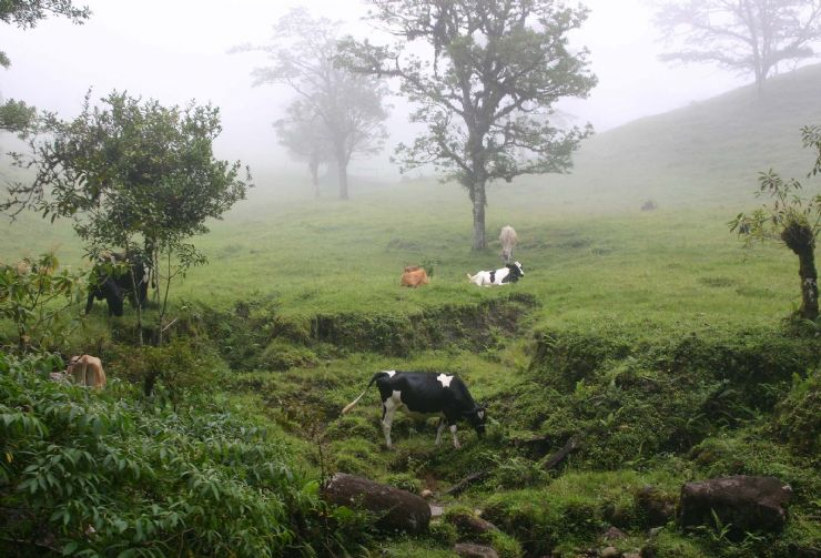 Cows on a pasture near Monteverde