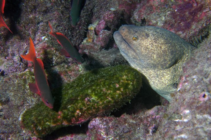 Moray Eel at Cocos Island