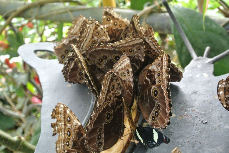 Morpho butterflies having party with fruit!