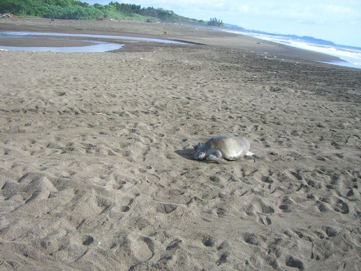 Olive Ridley Crawling to Nest