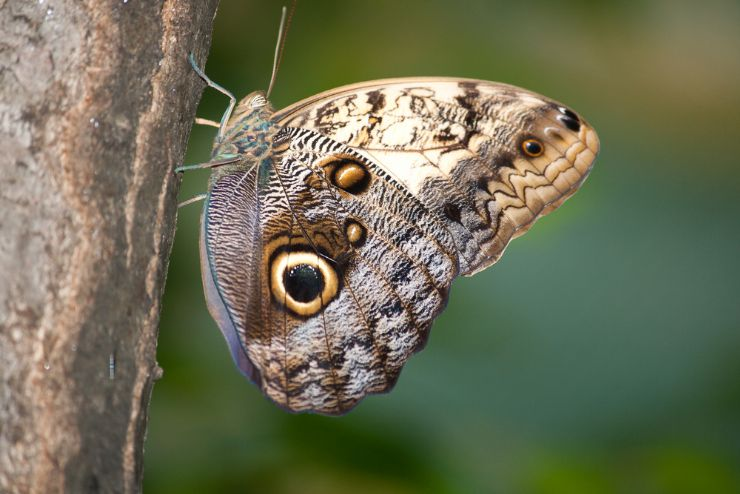 Owl Butterfly on tree in Lomas de Barbudal Biological Reserve