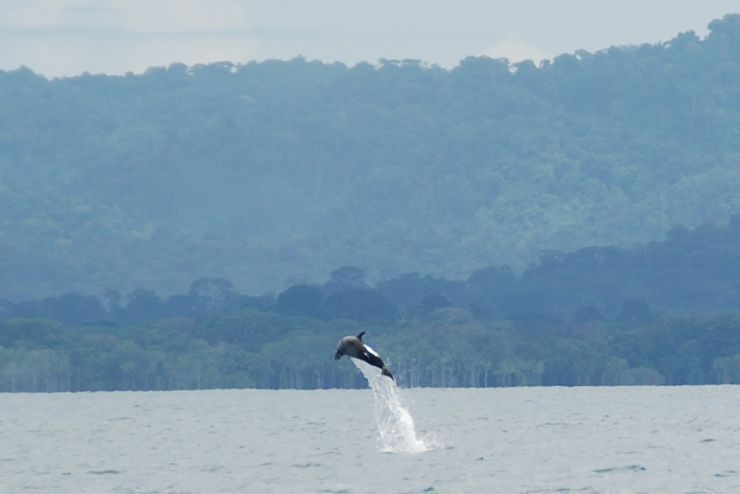 Pacific Spotted Dolphin jumping on the way to Playa Nicuesa Rainforest Lodge in the Golfo Dulce