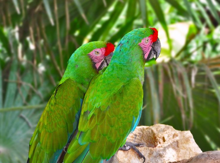 A pair of Great Green Macaws