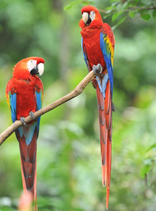 A pair of Scarlet Macaws (Ara macao) in Palo Verde National